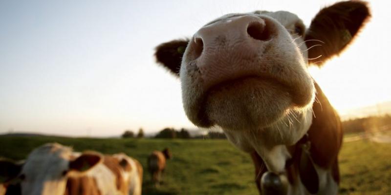 Stres cieplny u krów – cz.2. Mało dostrzegalny problem